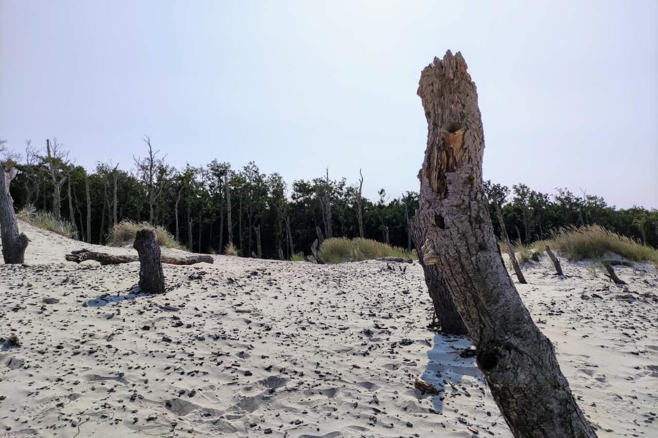 Pochłonięty las na Wydmie Łąckiej
